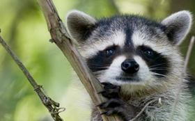 Raccon photo from MDC website